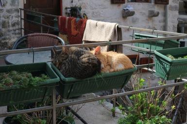 Macska virágzás